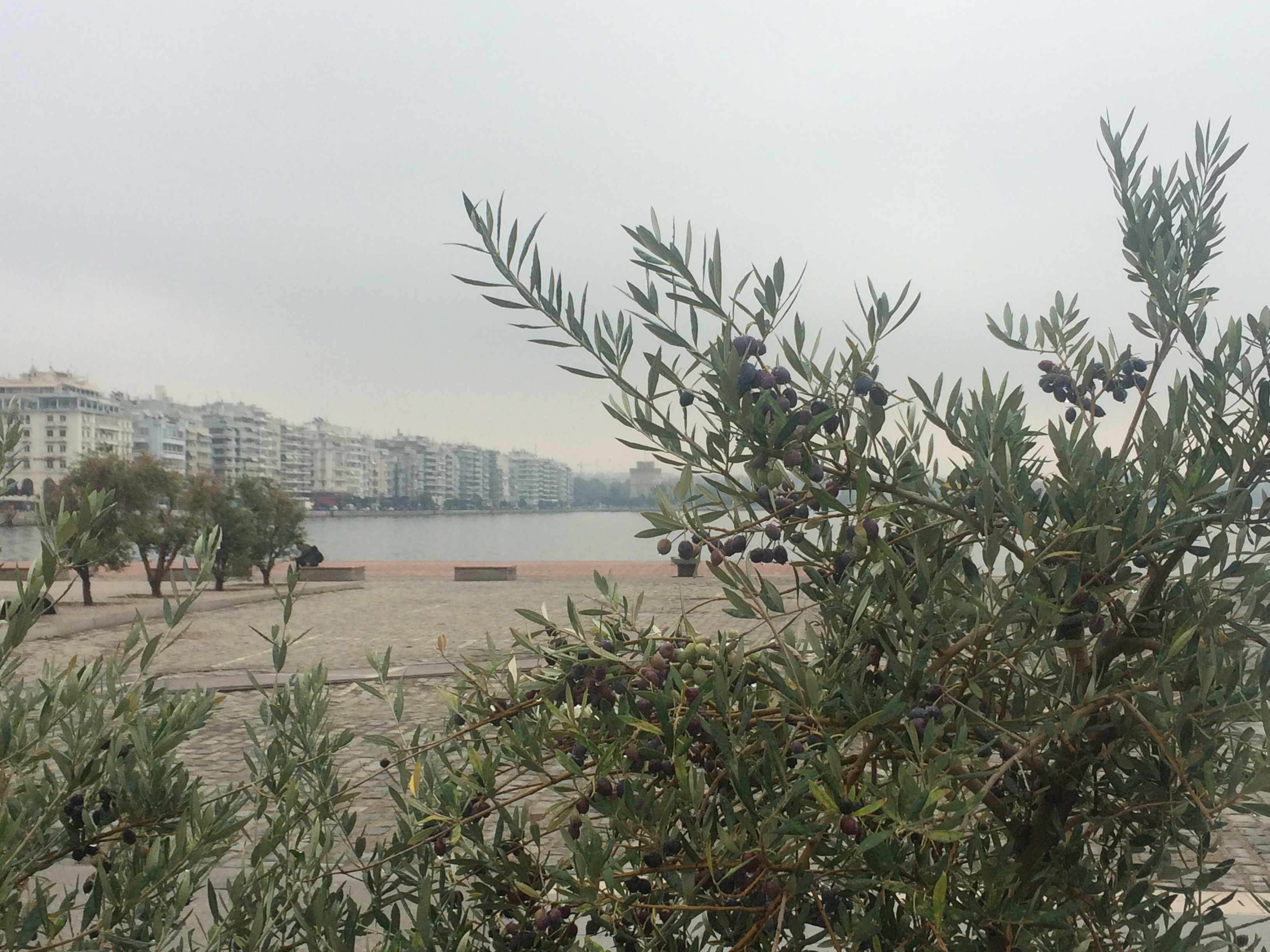 Olive trees in Thessaloniki